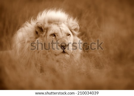 A white lion in the grass in this selective focal image. Sepia tone. - stock photo