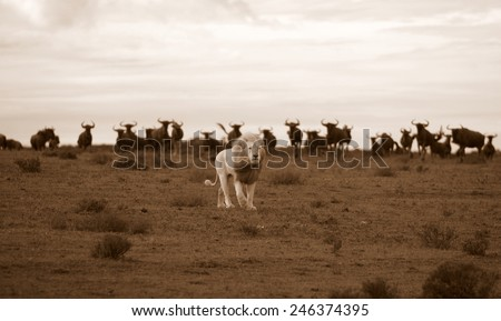 A white lion male walks through a herd of wildebeest while hunting in Africa - stock photo
