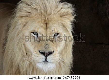 A White Lion (Panterha leo krugeri) staring at the camera.  - stock photo