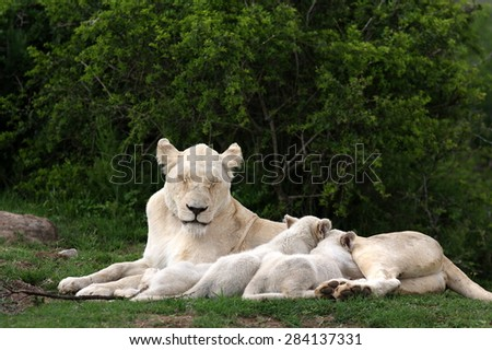 A white lioness and her white lion cubs. The cubs are drinking milk - stock photo