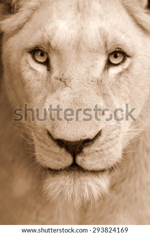 A white lioness looking intensely with her blue eyes in this beautiful close up photo of her face. This was taken at Pumba game reserve,eastern cape,south africa - stock photo