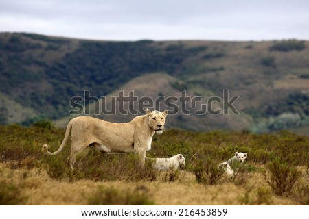A white lioness poses with her young white lion cubs with a beautiful background. - stock photo