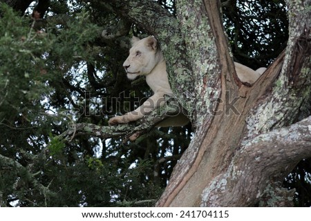 A white lioness resting in a tree. - stock photo