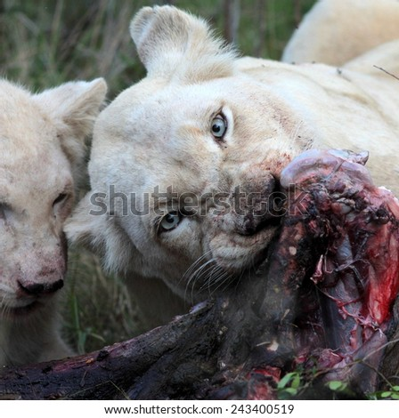 A white lioness shares a kill with one of her cubs.
