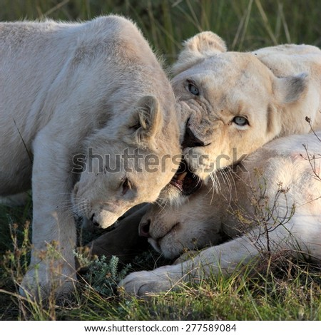 White Lioness Shares Tender Loving Moment Stock Photo ...