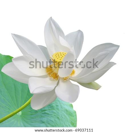 A white lotus - stock photo