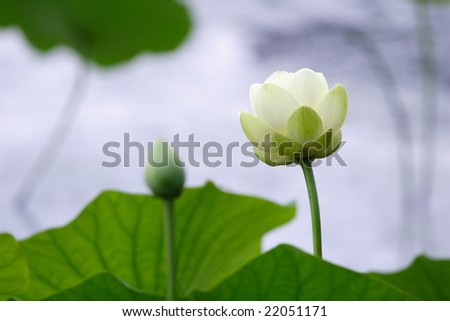 a white lotus blossom against a blurred watery background