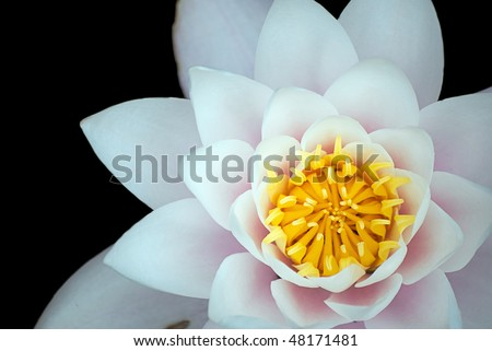 A white lotus flower set against a black background - stock photo