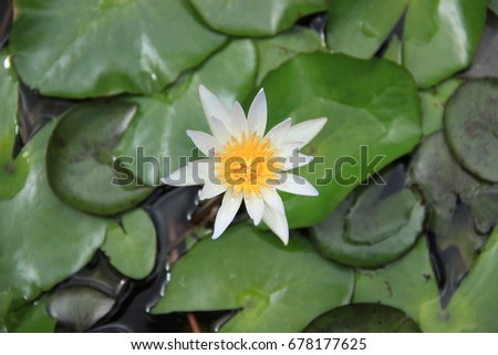 A White Lotus flower top view