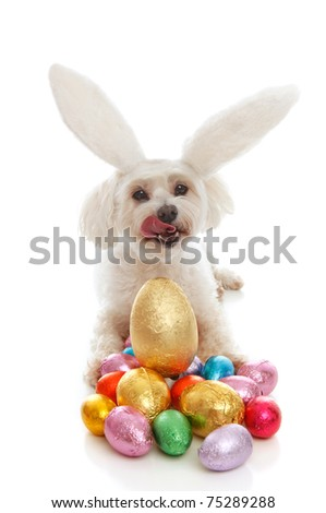 A white maltese terrier pet dog licking lips sitting among a selection of colourful chocolate easter eggs.  White background.