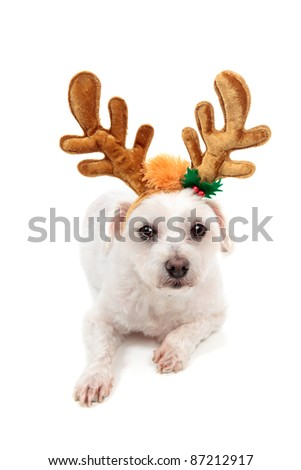 A white maltese terrier pet dog wearing reindeer antlers and lying down.  White background.