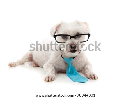 A white maltese terrier wearing black rim glasses lying down and looking ahead.  Wearing a small blue tie around the neck.