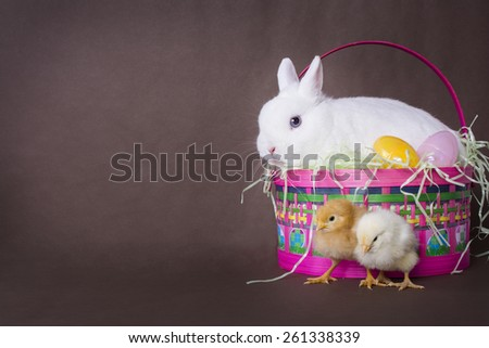 A white Netherlands Dwarf rabbit sits in an Easter Basket with some Easter Eggs. Two small chicks stand near by. Brown background with copy room. - stock photo