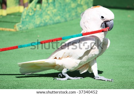 a white parrot performing on stage in front of an audience pullin a cart in it's beak - stock photo