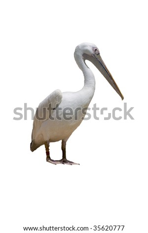 A white pelican isolated on white background - stock photo