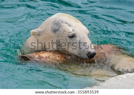 A white polar bear swimming and playing in the water - stock photo