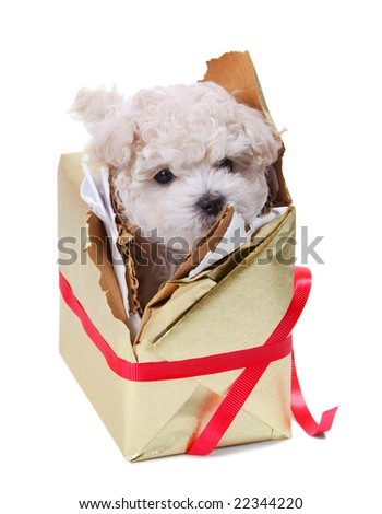 A white poodle breaking out of a present. - stock photo