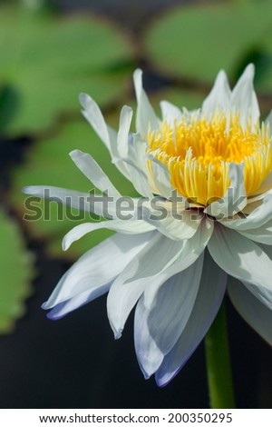 A white-purple lotus with its pollen - stock photo