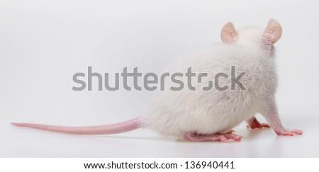 a white rat back side - stock photo
