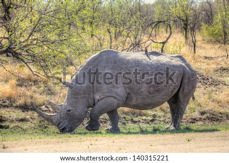 A white rhino (Ceratotherium simum) grazing in Kruger National Park, South Africa. - stock photo