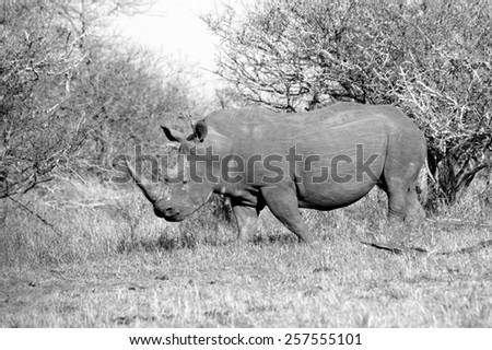 A white rhino grazing in an open field in South Africa - stock photo