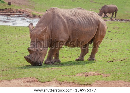 A White Rhino Grazing on Grass