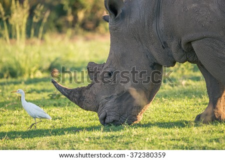 A white rhino grazing with a cattle egret bird leading the way - stock photo