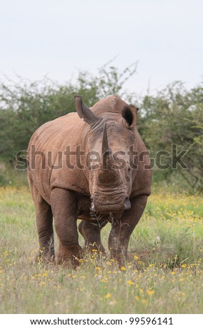 A white rhino in the Madikwe Game Reserve in South Africa - stock photo