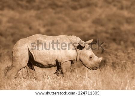 A white rhino / rhinoceros calf portrait in sepia tone - stock photo