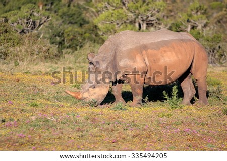 A white rhino / rhinoceros grazing in an open field in South Africa - stock photo