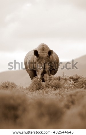 A white rhino / rhinoceros stares at the camera in an open field. Taken on safari in South Africa - stock photo