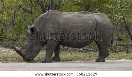 A white rhino standing on the road in South Africa.