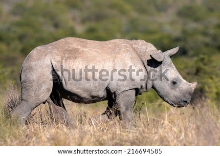 A white rhinoceros calf in this beautiful side on image.. - stock photo