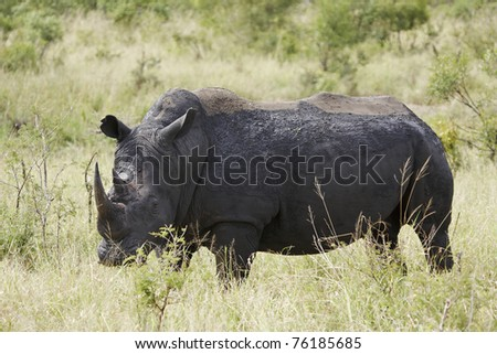 A white rhinoceros, Ceratotherium simium, covered in mud from a wallow - stock photo