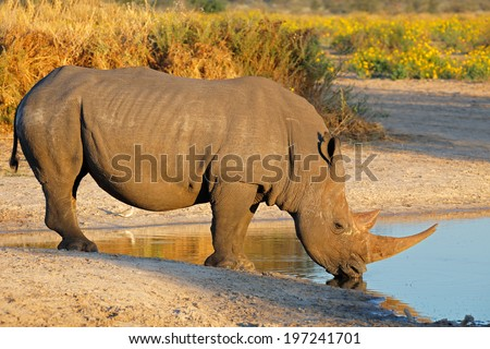 A white rhinoceros (Ceratotherium simum) drinking water, South Africa  - stock photo