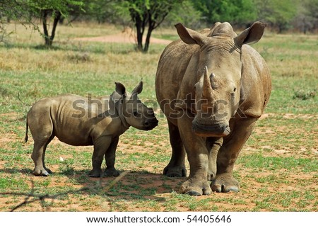 A White Rhinoceros female with a young calf. - stock photo