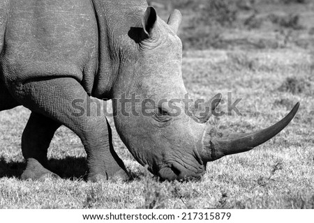 A white rhinoceros on the move in this black and white image. - stock photo