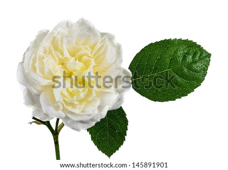 A White rose with water droplets isolated on a white background - stock photo
