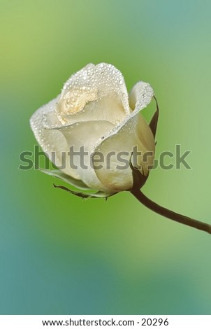 A white rose with water drops - stock photo