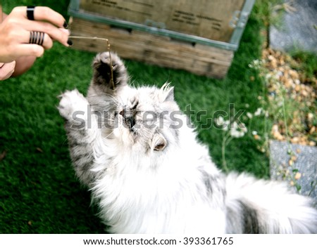 A white/ silver fat Persian cat walking, running and playing on grass tufted in the home with a women - stock photo
