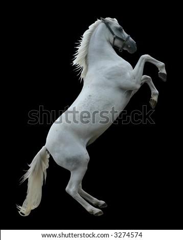 A white stallion rearing, isolated on black - stock photo