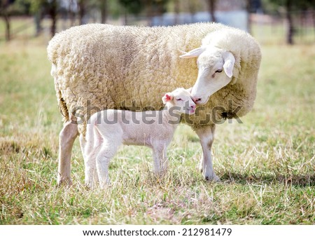 A white suffolk sheep with a lamb - stock photo