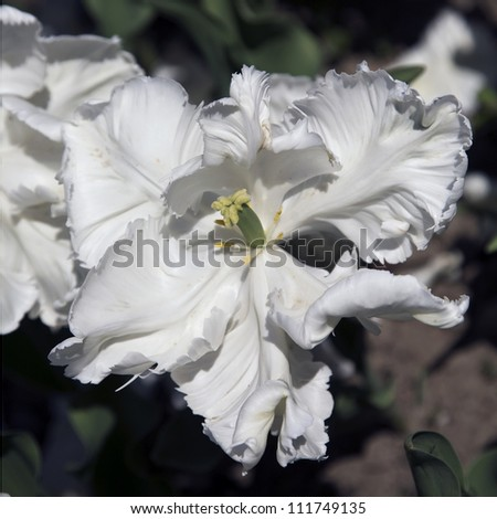 A white Super Parrot Tulip in a garden - stock photo