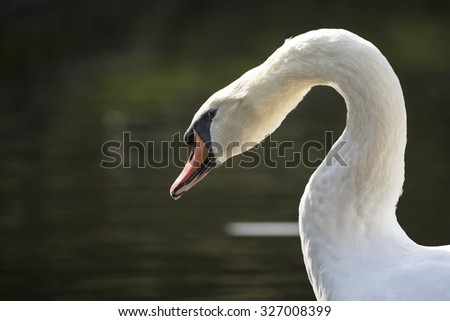 A white Swan glides gracefully across the water.