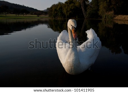 A white swan on a tranquil pond - stock photo