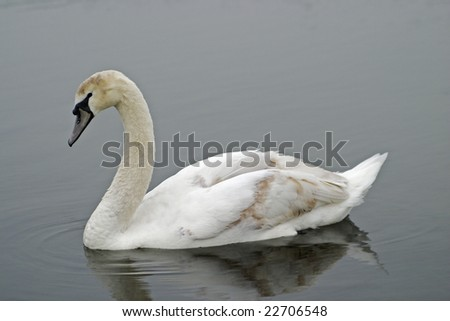 A white swan swimming on a tranquil lake