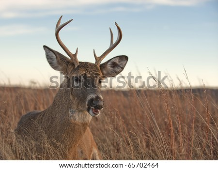 A white-tailed buck ( Odocoileus virginianus) laying in the meadow in the Blue Ridge Mountains of Virginia, just off of Skyline Drive. - stock photo