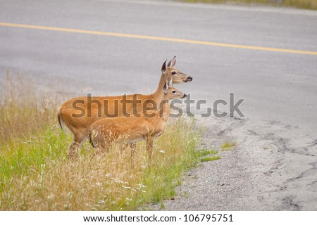 A White-tailed Deer and her fawn wait to safely cross the road. - stock photo