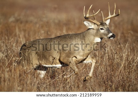 A white-tailed deer buck leaping through tall grass. - stock photo