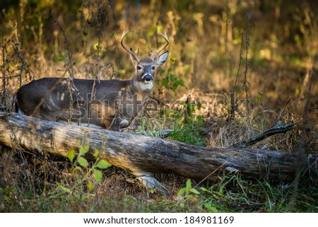 A white tailed deer buck standing behind fallen tree trunk in Great Smoky Mountains, USA - stock photo